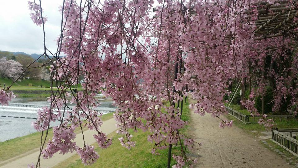 鴨川、桜が綺麗
